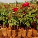 Top Secret Dutch Rose Plant For Nursery