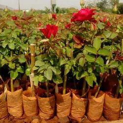 Top Secret Dutch Rose Plant For Nursery