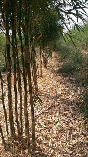 Commercial Farming Plantation Service - Bamboo Plants