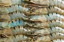 Bio Feed Additive for Tiger Shrimp