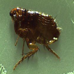 Fleas Pest Control Service
