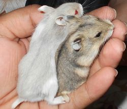 hamsters wholesale price mandi rate for hamsters