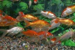 Natural Koi Carp Fish
