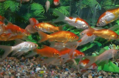 Koi carp fish in aquarium images for Carpe koi aquarium 300 litres