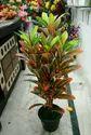 Hyperboles Artificial Dieffenbachia Plant