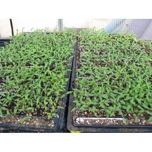 Seedlings Nursery Tomato Plant