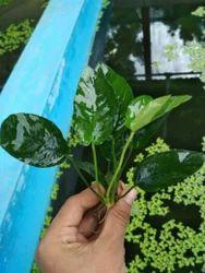 Aquarium Plants - Wholesale Price & Mandi Rate for Fish ...