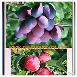 Plum Grafted Fruit Plant