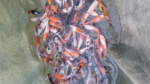 Japan Koi Carp Fish Japanese Koi Fish क ई मछल क ई फ श Green Mountain Exports Chennai Id 13882899473