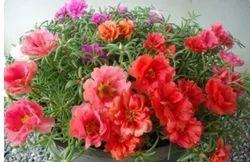 Porlulaca Flowers