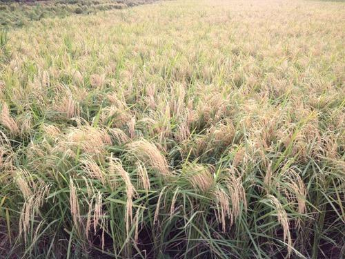 Image result for rice 126 punjab