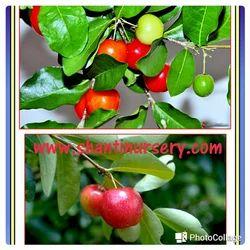 Surianam Cherry Plant