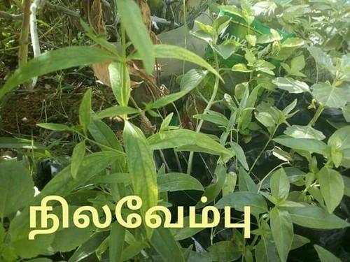 Country vegetable Seeds & Allovera Baby Plant Manufacturer from Chennai