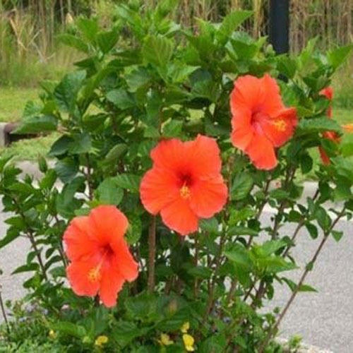 Hibiscus Flower Plant View Specifications Details Of Flowering