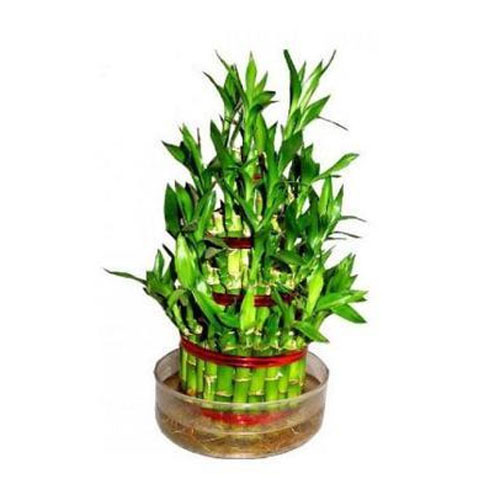 Smz brandlines bengaluru ecommerce shop online business of lucky bamboo plant and bamboo plant - Successful flower growing business ...