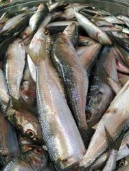 Tuticorin Fish