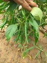 Chilli Seeds, Pack Size: 10 Gm