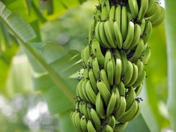 A Grade Green Banana