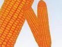 Maize Hybrid Asha